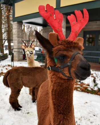 Visit with furry friends from Thistle Creek Alpacas!
