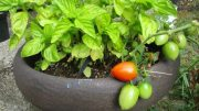 Almost any vegetable can be grown in a container, and almost any container will work.