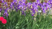 Try some iris in your garden!