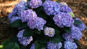 Photo credit Cityline Vienna®, Hydrangea macrophylla. Courtesy of Proven Winners,www.provenwinners.com.